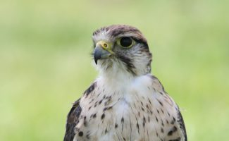 Falconry Centre